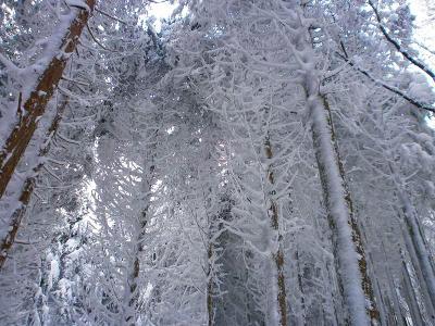 ここでまた霧氷だけど青空がない。でも雪の量はたっぷりだね